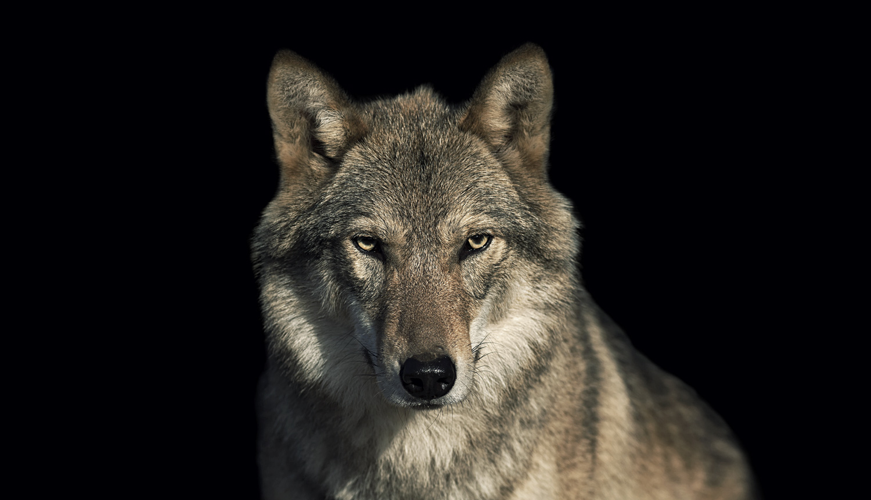 steckbrief wolf. Black Bedroom Furniture Sets. Home Design Ideas