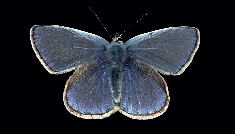 Steckbrief Schmetterling